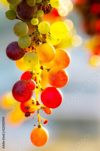 Fototapete grappolo d'uva multicolore