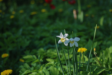 Photo sur Plexiglas Narcisse White narcissus in a group growing in a field