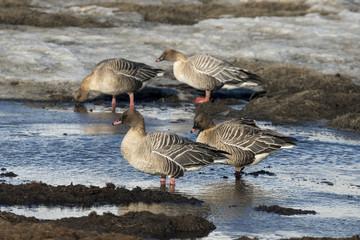 Oie à bec court,.Anser brachyrhynchus, Pink footed Goose, archipel du Spitzberg