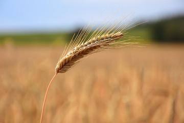 Ripe ears of grain, field crops in August before harvest