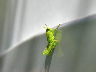 Green grasshopper on reflecting surface