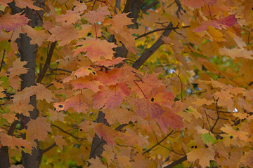 the natural background - Yellow leaves of a maple in the fall
