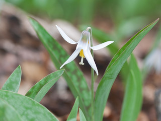 A White Trout Lily Split