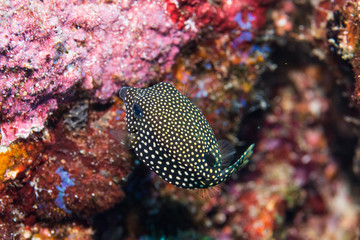 Black spotted boxfish found in Similan Island dive trip, Thailand 2018.
