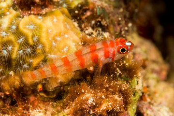 candycane pygmygoby fish