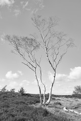 Solitary Silver Birch on the moors