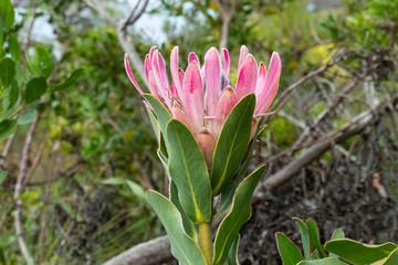 Flower of Protea compacta