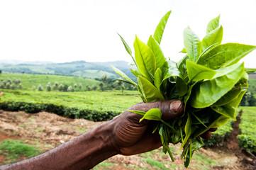 tè in Uganda, Africa