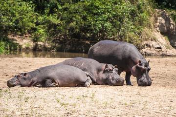 Ippopotami al Queen Elizabeth National Park, Uganda, Africa