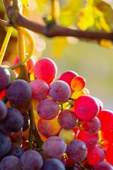 Fototapete - uva al tramonto