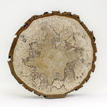 Alder wood cross section isolated on white background