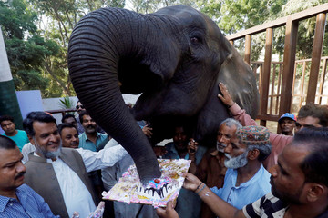 Zoo staff gather as a female elephant named Noor Jahan eats cake on the occassion of her 14th birthday celebration at the Zoological Garden in Karachi