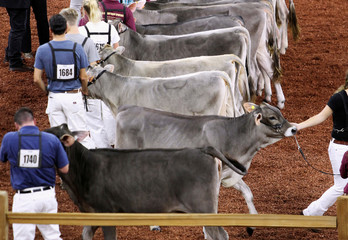 International Brown Swiss cows are shown during the World Dairy Expo in Madison.