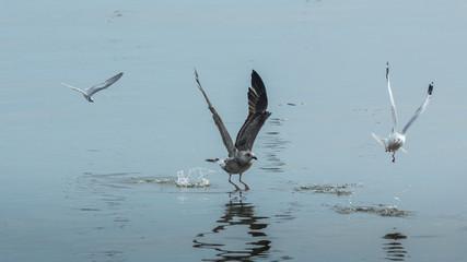 Three seagulls.