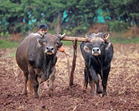 oxen team joined by yoke plow fieild in rural Peru