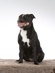 American staffordshire terrier dog portrait. Image taken in a studio.
