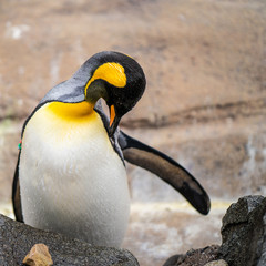 King penguin in Edinburg zoo