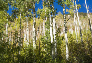 Aspen trees in Colorado focusing on the tree trunks, fall 2018