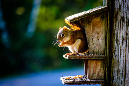 A squirrel with food in the mouth posing for camera on a tree house