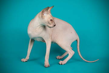 Don Sphinx cat on colored backgrounds