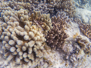 Pink and yellow coral formation closeup. Coral reef underwater photo. Tropical sea shore snorkeling or diving.