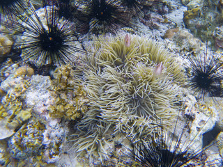 Black urchins and orange clownfish in actinia. Coral reef underwater photo. Tropical sea shore snorkeling
