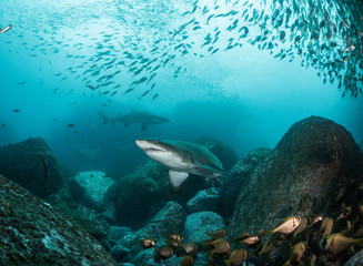 Shark in a school of fish shot from below