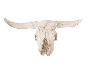 sun bleached white cow scull isolated on a white background