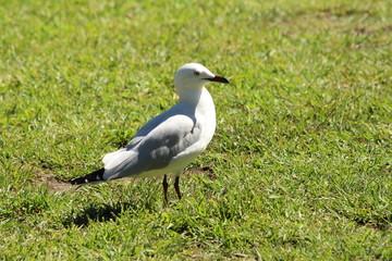 Silver Gull in Fremantle