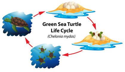 Green sea turtle life cycle