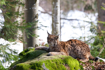 Foto op Plexiglas Lynx Eurasian Lynx (Lynx Lynx) in the Bavarian Forest National Park (Nationalpark Bayerischer Wald) in Bavaria, Germany. The Lynx was reintroduced to the Bavarian Forest in the 1990s.