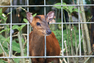 A little deer close-up at a zoo. A life and breed in captivity behind bars