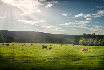 Cows In Pasture lighted by sun rays on North Georgia Mountains