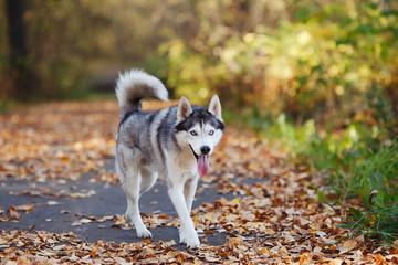 Siberian husky dog with blue eyes walking autumn park