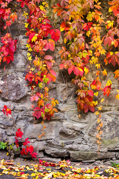 colorful ivy plant on stone wall. beautiful autumn background with natural textures