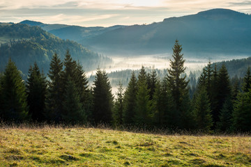 spruce forest in foggy valley. beautiful autumn scenery in mountains at sunrise. view from the hill