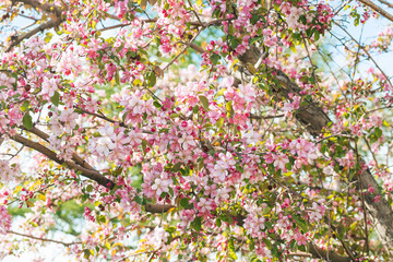 Pink apple tree blooms in spring