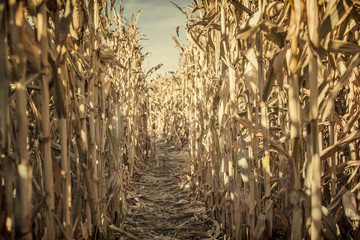 Low Angle view of a corn maze right before sunset. A fun Halloween activity of playing in a spooky corn maze. A single path down a corn maze is strewn with the golden husks