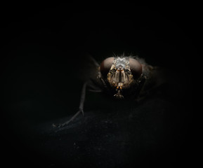 portrait of a fly close-up on a black background
