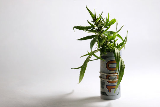 US dollar bill in the form of a tube from which a green marijuana sprout with seeds sticks out. Money and cannabis. The concept of legalization of the drug business. White background.