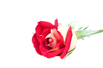 Beautiful two colored rose, red and yellow flower isolated on white, floral wallpaper