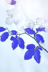 Winter mood.Snow winter plant nature background in cold blue tones.Thin branches with blue bright leaves and snow on a pale blue blurred background. Winter season
