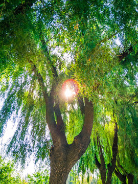 willow trees in the park