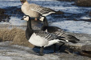 Bernache nonnette,.Branta leucopsis, Barnacle Goose
