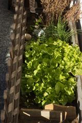 Salat im Balkonkasten