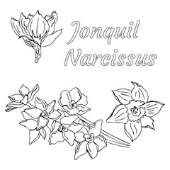 Vector doodle jonquil with name in Latin