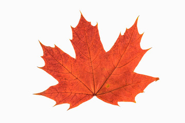 Red and yellow maple leaf as an autumn symbol as a seasonal themed concept as an icon of the fall weather on an isolated white background.