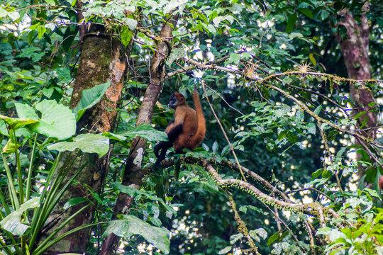 Geoffroy's spider monkey (Ateles geoffroyi) in Tortuguero National Park, Costa Rica