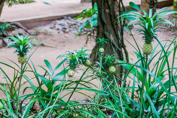 Small unripe pineapples in a garden near Kandy, Sri Lanka