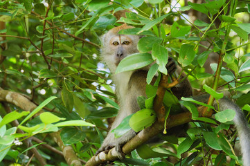 Singapore Long-Tailed Macaque